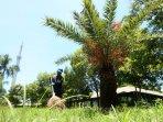 pohon-kurma-di-taman-masjid-al-markaz-al-islami-makassar-berbuah_20160313_194641.jpg