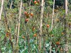 pohon-tomat1.jpg