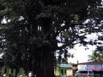 pohon-trembesi_20161119_140203.jpg