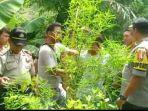 polisi-menemukan-tanaman-ganja-di-lombok-utara.jpg