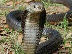 puluhan-ular-kobra-di-bogor-jawa-barat.jpg