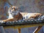 ran-harimau-sumatera-tertua-di-jepang_20171211_090945.jpg