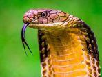 remaja-di-palangkaraya-tewas-dipatuk-king-cobra-piaraanya-saat-memamerkannya-kepada-warga_20180709_144151.jpg