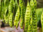 row-of-green-stink-bean-hanging-20210926080746.jpg