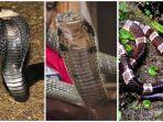 sama-sama-berbisa-mematikan-apa-perbedaan-ular-kobra-king-kobra-dan-weling.jpg