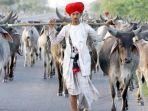 sapi-dan-kerbau-di-india-akan-memiliki-ktp_20180809_180918.jpg