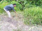 Rano Kaget Ternak Sapi Miliknya Tinggal Tulang dan Kulit di Semak-semak, Diduga 'Dimutilasi' Pencuri