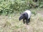 satwa-langka-dan-dilindungi-jenis-tapir.jpg