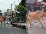 seekor-sapi-di-solo-terpaksa-ditembak-setelah-1-jam-mengamuk-dan-bahayakan-pengguna-jalan_20180610_163720.jpg
