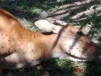 seekor-sapi-mati-diduga-diterkam-harimau-sumatera-di-pelalawan-ria.jpg