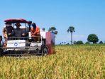 selamatkan-petani-jagung-dari-ijon-mentan-syl-kur-solusinya.jpg