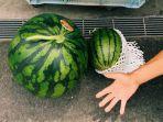 semangka-di-jepang.jpg