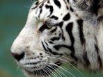 Penjaga Kebun Binatang di Jepang Tewas Setelah Diterkam Seekor Harimau Putih