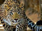 seorang-pria-terluka-saat-mencoba-menangkap-macan-tutul_20170125_131159.jpg