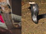serupa-tapi-tidak-sama-ini-perbedaan-ular-kobra-dengan-king-kobra.jpg