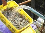 KKP dan Pemda Siapkan Pembangunan Shrimp Estate di Aceh Timur untuk Dorong Budidaya