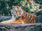 tafsir-mimpi-bertemu-harimau.jpg
