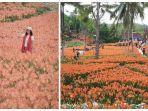 taman-bunga-amarilis-gunung-kidul-yogyakarta-sudah-mulai-mekar-kembali.jpg