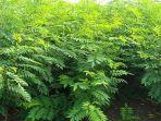 tanaman-indigofera-yang-mulai-dibudidayakan-secara-massal_20170313_055323.jpg