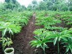 tanaman-porang-mulai-dikaji-untuk-dikembangkan-jadi-komoditi-eskpor.jpg
