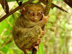 tarsier-togean.jpg
