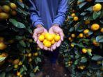terdampak-pandemi-penjualan-pohon-jeruk-kimkit-menurun_20210125_164511.jpg