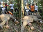 tim-balai-besar-ksda-riau-melakukan-evakuasi-terhadap-anak-gajah-sumatera_20180914_143232.jpg