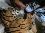tim-konservasi-temukan-harimau-sumatra-mati-terjerat-tali-pembur_20200519_153116.jpg
