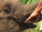 tim-rescue-evakuasi-anak-gajah-liar-yang-terkena-jerat_20191017_144844.jpg