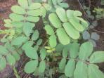 tumbuhan-gelinggang_20160527_175122.jpg