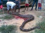 ular-berukuran-besar_20170918_184251.jpg
