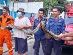 ular-jenis-sanca-batik-ditangkap-petugas-damkar-kota-tangsel.jpg