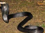 ular-kobra-newss.jpg