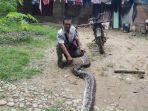 ular-piton-melilit-dan-nyaris-menelan-korban-warga-sukajadi-makmur-lan.jpg