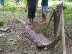 ular-piton-sepanjang-tujuh-meter-yang-menelan-akbar_20170329_233203.jpg