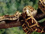 ular-piton_20170329_212714.jpg