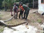 ular-ukuran-besar-yang-memangsa-kambing-warga-gosong-telaga-timur.jpg