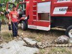 Begini Nasib Ular Piton Pemangsa Kambing Bunting di Aceh Singkil