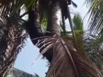 Unik, Ada Pohon Kelapa Bercabang Dua di Minahasa Tenggara