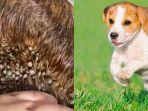 viral-video-seekor-anjing-terkena-kutu-caplak-ini-tips-penanganan-dari-dog-lovers.jpg