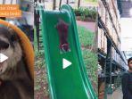 viral-video-tiktok-tingkah-laku-hewan-otter-pemiliknya-bagikan-tips-merawat-otter.jpg