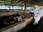 wabah-virus-hog-cholera-dan-african-swine-fever-serang-babi_20191112_164330.jpg