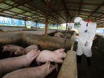 wabah-virus-hog-cholera-dan-african-swine-fever-serang-babi_20191112_164420.jpg