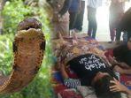 wanita-tewas-digigit-ular-kobra-di-banjar.jpg