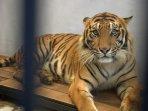 wira-harimau-koleksi-kbs_20150928_185853.jpg