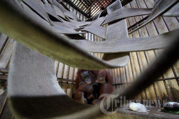 Bayi Orangutan di Bonbin Mangkang