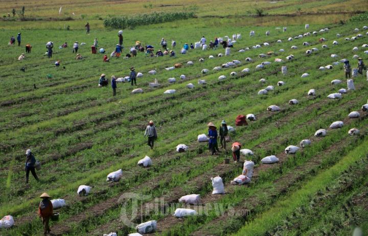Petani Kendal Panen Bawang Merah