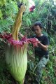 Bunga Bangkai Raksasa di Deli Serdang