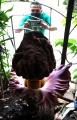 Bunga Bangkai Tumbuh di Rumah Warga Cisaranten Endah