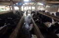 geliat-peternak-sapi-perah-pondok-ranggon-di-masa-pandemi_20201125_194838.jpg